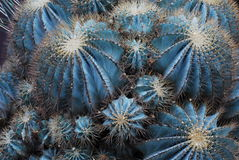 Grand cactus rond Images stock