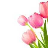 Grand cadre de tulipes de ressort pour le fond de vacances, d'isolement photo stock