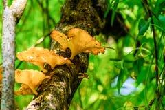 Grand Calluna de champignon vulgaris ou Heather commune, ling ou champignon comestible s'?levant dans l'?corce et la mousse d'arb photographie stock