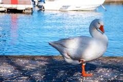 Grand canard blanc soulevant sa jambe et observant l'appareil-photo Photographie stock