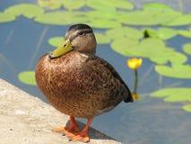 Grand canard brun se tenant prêt l'étang avec les feuilles vertes et la fleur jaune de lis photos libres de droits