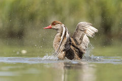 Grand canard de grèbe crêté tout en éclaboussant Images libres de droits