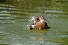 Grand canard hybride éclaboussant l'eau et lissant la natation sur un lac image stock