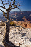 Grand Canyon. Tree overlooking the Grand Canyon in Arizona, USA royalty free stock photos