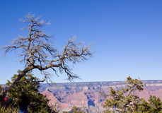 Grand Canyon Arizona dead tree Stock Photo
