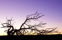 Grand Canyon Arizona dead tree Royalty Free Stock Photo