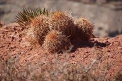 Grand Canyon Cacti Royalty Free Stock Image