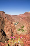 Grand Canyon Cactus Flowers Stock Image