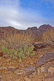 Cactus in Grand Canyon Stock Image
