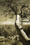 Grand Canyon dead tree royalty free stock images