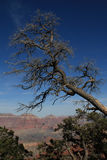 Grand Canyon dead tree on rim Royalty Free Stock Image
