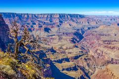 Grand Canyon en oude droge boomvoorgrond, Arizona, de V.S. royalty-vrije stock foto