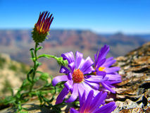Grand Canyon Flowers Royalty Free Stock Photos