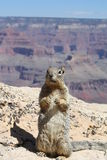 The Grand Canyon and The Humble Squirrel Stock Images