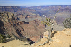 Grand Canyon Juniper Royalty Free Stock Photos