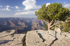 Grand Canyon with lonely tree and textured rock on the foreground Stock Photography