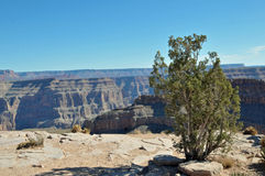 Grand Canyon met Boom Stock Foto's