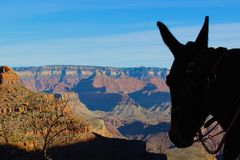 Grand Canyon Mule Stock Images
