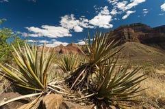 Grand Canyon natural flora - cactu Royalty Free Stock Photography