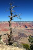 Grand Canyon NP, Arizona, USA. View on the tree on the rim in The Grand canyon Royalty Free Stock Photos