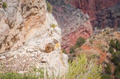 Grand Canyon och löst liv Arkivbild