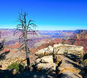 Grand Canyon and old dry tree foreground Stock Photography