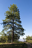 Grand Canyon Pine Tree Stock Images