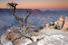 Grand Canyon sunset. Sunset at the Grand Canyon with a dead tree in the foreground Royalty Free Stock Photography