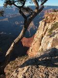 Grand canyon tree Stock Photography