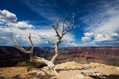 Grand Canyon Tree Royalty Free Stock Photos