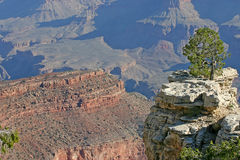 Grand Canyon Tree Royalty Free Stock Photo