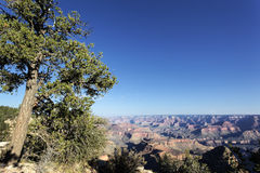 Grand Canyon and tree Royalty Free Stock Photo