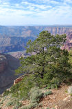 Grand Canyon Tree. Trees on the cliffs, Grand Canyon National Park, Arizona, USA Stock Images