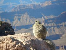 Grand Canyon View. Little Inhabitant of the Grand Canyon Enjoys Spectacular View Royalty Free Stock Images