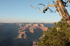 Grand Canyon - View from the south rim. With old tree royalty free stock photos