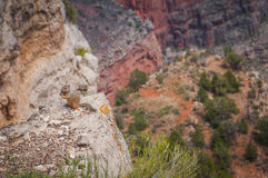 Grand Canyon and wild life. Colorful Stock Photography