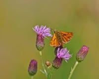 Grand capitaine de papillon sur une fleur pourpre Images libres de droits