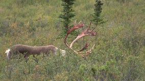 Grand caribou de terre stérile Taureau banque de vidéos