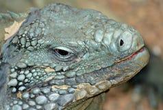 Grand Cayman Blue Iguana. Head shot of a Grand Cayman Blue Iguana Royalty Free Stock Photo