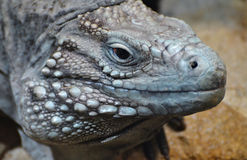 Grand Cayman Blue Iguana Stock Photography