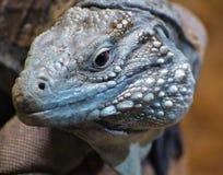 Grand Cayman Blue Iguana Royalty Free Stock Image