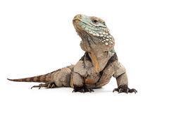 Grand Cayman Blue Iguana-Low View Royalty Free Stock Image
