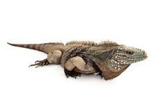 Grand Cayman Blue Iguana Profile Royalty Free Stock Photos