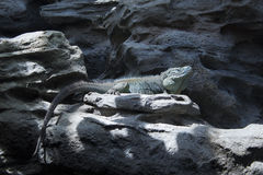 The Grand Cayman Blue Iguana. A blue iguana on a rock Royalty Free Stock Photos