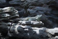 The Grand Cayman Blue Iguana. A blue iguana on a rock Royalty Free Stock Photos