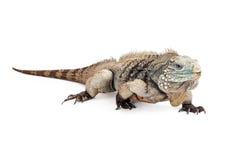 Grand Cayman Blue Iguana Walking Forward Royalty Free Stock Photography