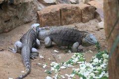 Grand cayman iguanas Stock Photos
