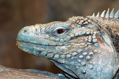 Grand Caymen Iguana. Photograph of the head of a Grand Caymen or Blue Iguana showing the rough course scaly texture stock photos