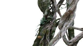 Grand cep de vignes tordu de jungle de liane sauvage avec de la mousse, lichen et Photos libres de droits