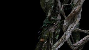 Grand cep de vignes tordu de jungle de liane sauvage avec de la mousse, lichen et Image stock